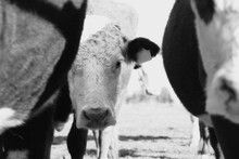 Curious Hereford Cow Peeking From Behind Cattle In Herd Close Up With Rustic Black And White Style.