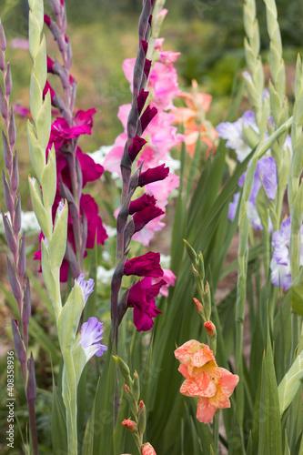 Cuadros en Lienzo Pink, orange, blue and crimson gladioli bloom in summer in a flower bed