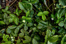 Strawberries In Growth At Garden. Strawberry Plant. Wild Stawberry Bushes. Ripe Berries And Foliage Strawberry