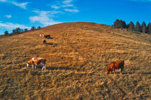 Herd Of Cows Is Grazing On Pastureland Hill Slope