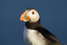 Closeup Shot Of An Atlantic Puffin With The Blue Sky In The Background