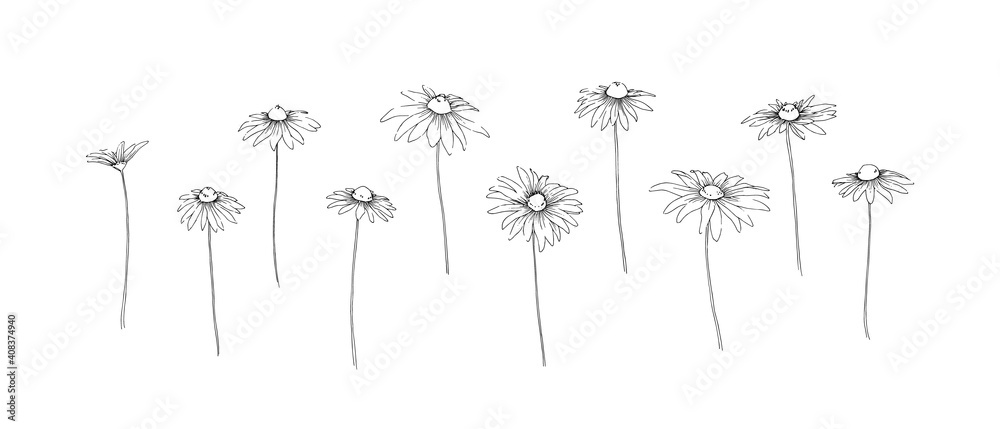 Fototapeta Hand drawn chamomile collection. Set of outline stem camomile flowers painted by ink. Black isolated garden sketch vector on white background. Herb wildflower decorative print elements