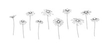 Hand Drawn Chamomile Collection. Set Of Outline Stem Camomile Flowers Painted By Ink. Black Isolated Garden Sketch Vector On White Background. Herb Wildflower Decorative Print Elements