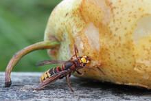 Hornisse Frisst An Einer Birne, Vespa Crabro