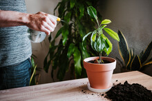 Man Watering Avocado Plant With Spray Bottle While Standing At Home