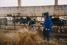 Young Male Farmer Feeding Straws To Cows In Stable