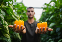 Farmer Holding Fresh Harvested Yellow Bell Peppers While Standing At Greenhouse