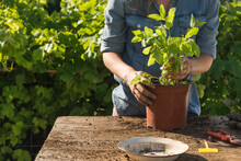 Woman Transferring Peppermint In Potted Plant In Garden On Sunny Day