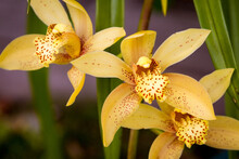 Slipper Orchid Flowers (Cymbidium Orchid)