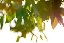 Gum Tree Leaves With Highlights And Blur