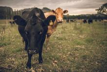Beef Cattle On A Farm In Barrington