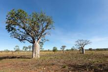 Boab Tree In Dry Season Landscape In The Kimberley