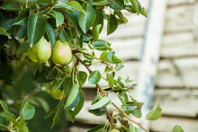 Fruit Growing On A Green Pear Tree On A Farm