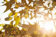 Late Afternoon Sunlight Shining Through Gum Tree Leaves