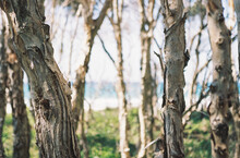 Paperbark Trees With Ocean In The Background