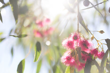 Pink Flowering Gum Tree With Sun Flare
