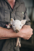 Gorgeous Little Piglet Being Held By A Farmer