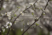 Plum Blossom On A Trellis In An Orchard