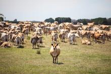 Jersey Dairy Herd