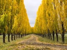 Avenue Of Golden Poplar Trees