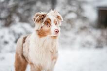 An Australian Shepherd Puppy On Snow In Winter. Portrait Of A Red Merle Dog, Happy Face.