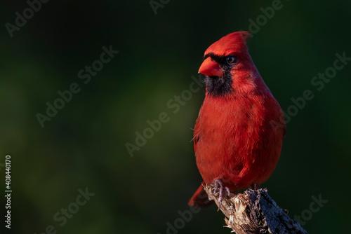 Northern Cardinal Tapéta, Fotótapéta