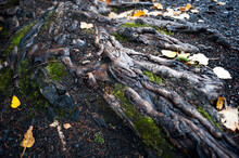 Tree Roots In Fall Time In Alaska