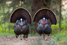 Wild Turkeys - Two Mature Toms Strut Directly Toward The Camera, Displaying Their Plumage And Fanning Out Their Tails