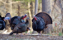 Wild Turkeys - Several Mature Toms Surround A Hen And Gobble, Hoping To Attract Her As A Mate