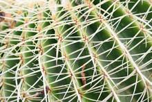 Barrel Cactus Long Sharp Thorns Close Up
