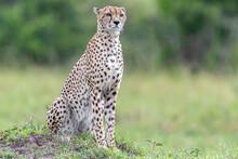 Cheetah In Masai Mara National Reserve