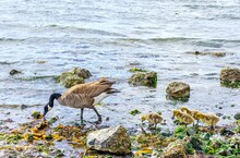 Canada Goose Teaching Baby Goslings How To Eat On The Beach