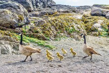 Canada Goose Parents Walking With Baby Goslings