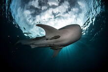 Whale Shark In Cenderawasih Bay West Papua