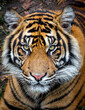 A Tiger looking directly into the lens. Wild moment. When such a big cat looks up at you