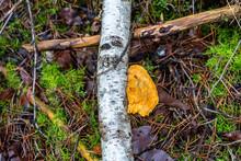 Tree Mushroom Golden Jelly Fungus On The Birch Branch.