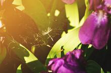 Summer Background, Iris Flower And Spider Web Among Purple Petals Under Sunset Light