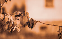 Branches Of An Apricot Tree With Damaged Leaves On The Background Of The House On The Sunset. Selective Focus.