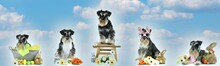 Easter Panorama Banner Dog Miniature Schnauzer Isolated On Sky Background