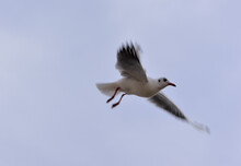 The Seagull Freely Dissects The Gray Sky