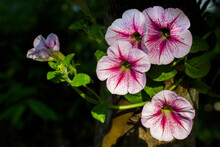 Pink Petunia, Light In The Dark, Has Space To Put Letters, Suitable For Making Love Graphics Or Quotes.
