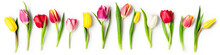 Tulip Spring Flowers On White Background Creative Banner.