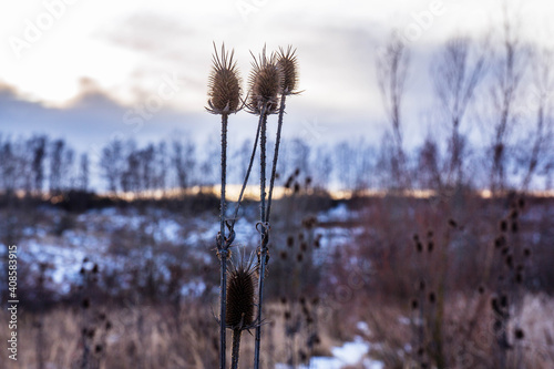 Obraz na plátně A group of thistles together in the snowy valley during the sunset