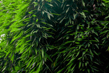 Green Lives Of Bamboo Grove