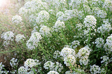 Alyssum Flowers. Lobularia Maritima Flowers. Spring And Summer Flowers Background Texture, Meadow. With Sun Light