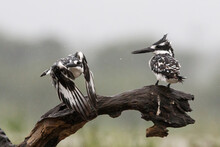 Pied Kingfisher (Ceryle Rudis) Couple Sitting On A Branch, One Is Flying Away, In Zimanga Game Reserve In Kwa Zulu Natal In South Africa