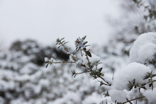 Macro, Close Up Of A Frozen Flower, Rosemary Flower In Winter, Snow And Ice. Beautiful Frozen Nature