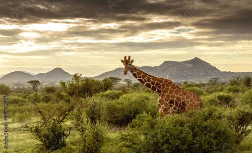 Fotografie, Obraz Giraffe walking through the grasslands in Kenya