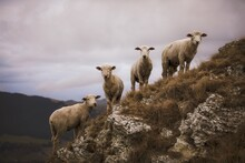Sheep Standing In A Field On A Rock Outcrop
