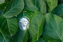 The Face On The One Dollar Bill Peeks Out From Behind The Leaves Of The Tree